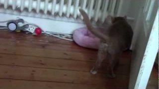 Abessinier Katzen spielen mit Kitty Kopter