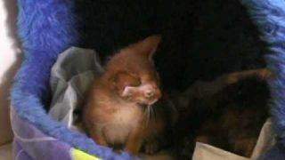 aktion-tier und sein Koopertationspartner Berliner Katzenschutz übernehmen 6 Abessinierkatzen