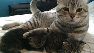 American Shorthair Katzenbabys am spielen