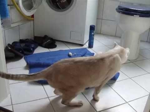 Burmilla cat plays with mouse. Burmilla Katze spielt mit der Maus.