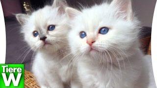 Heilige Birma Katze – Eine beliebte Katzenrasse – Fakten über Katzen – Herkunft, Familienfreundlich