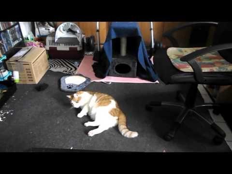 Katze apportiert und spielt mit Maus.