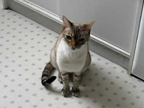 Katze Shani mauzt bzw. jammert