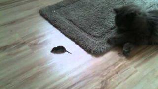 katze spielt mit maus (CHARLIE) britisch langhaar , blh ,bsh