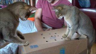 Katzen Lilly und Molly spielen mit einem Karton – Part 2 (Abessinier-Siam)