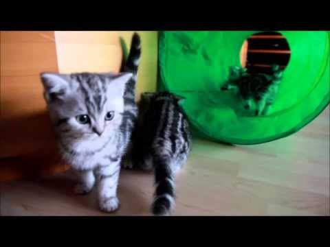 """Katzenbabys """"von Nellis Schloss"""" A-Wurf 9 Wochen alt"""