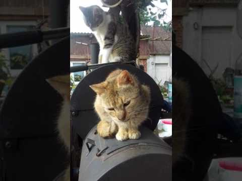 Katzenzunge