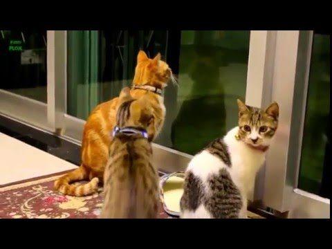 Lustige Katzen und Kätzchen Miauen Zusammenstellung 2016