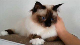 Meine Katze hat Dreck am Auge (Sandmännchen bzw. Tränenflüssigkeit Tutorial) – Heilige Birma