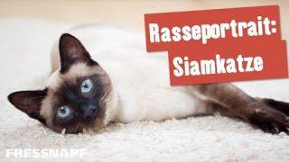 Rasseportrait: Siamkatze I FRESSNAPF