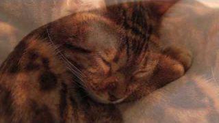 Schlafende Benal Katzen
