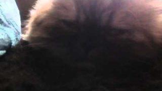 Schlafende perser Katze
