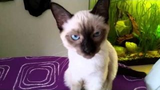Siam Katze miaut