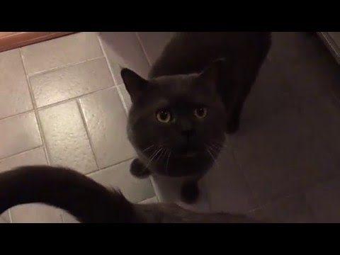 Süße Katzen miauen