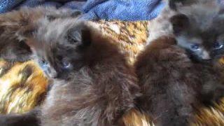 3 Wochen alte Maine Coon Katzenbabys
