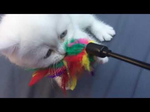 Britisch Kurzhaar Katzenbaby Kitten Dilia und der Federwedel … so lustig 😅
