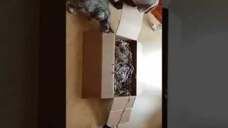 Bengalkatzenvideo Pepe und Baghira