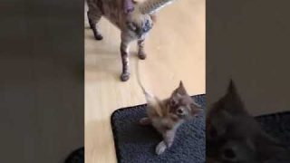 Wilde Bengalkatzen babys