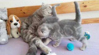 Scottish fold/BKH Kätzchen von Bella spielen