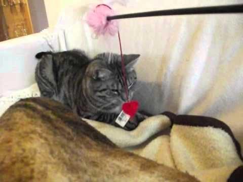Kater spielt mit Katzenangel