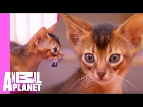 Abyssinian Remy Steals the Spotlight   Too Cute! Abessinier!