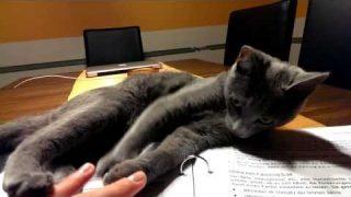 Laura ( Russisch Blau Katze)