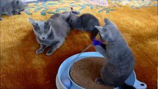 Nimbata – Russisch Blau Kitten / C und D-Wurf | Video 1