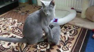 Russian blue cat Baby,litter ,,G,,,russisch blau Baby mit Mama Katze