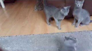 Russisch blau Katze, Rasse Katze, russian blue