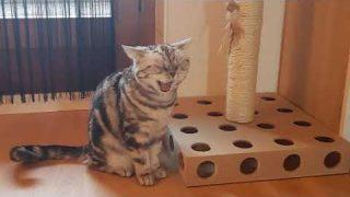Katzen BKH am spielen
