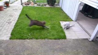 Scottish Folds hunting and jumping/ Katzen spielen im Garten